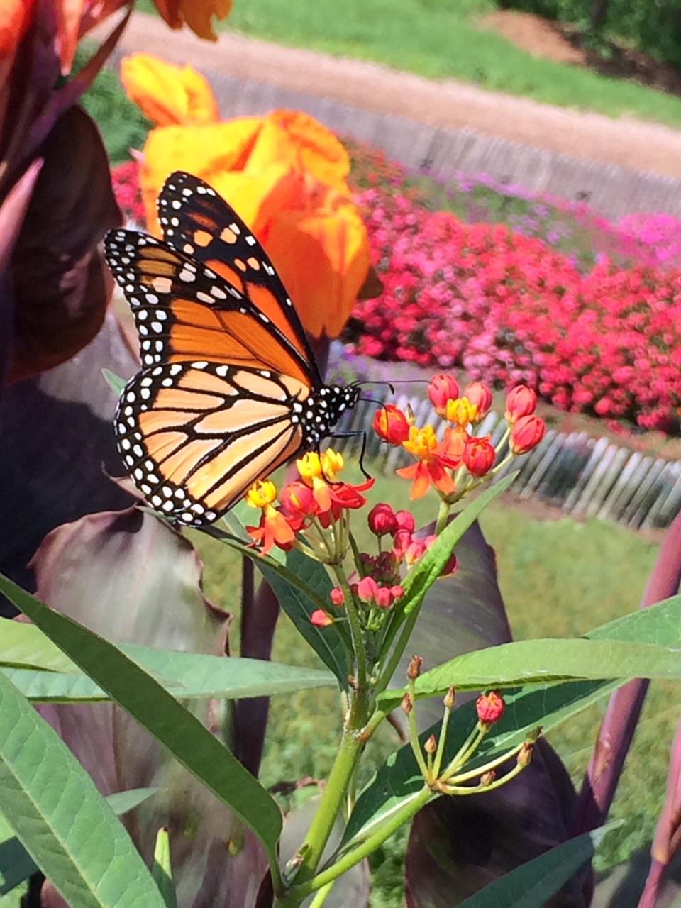 Monarch BG