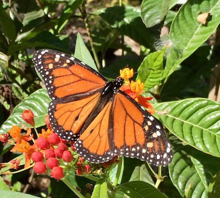 monarch1.jpg