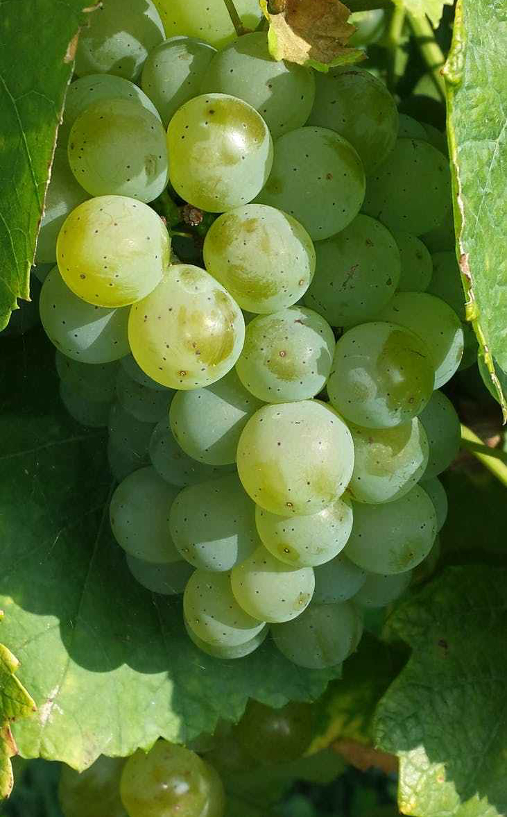 food grapes green fruit